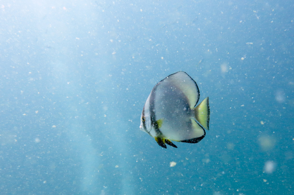 A solitary batfish swims through cloudy water at the Twins dive site off the coast of Koh Tao, Thailand.